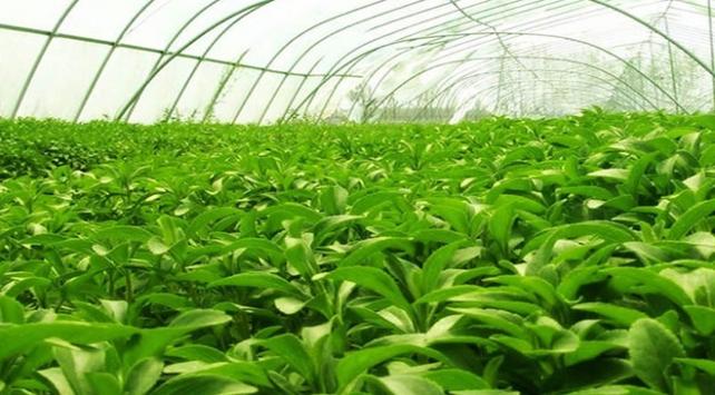 Trabzon'da şekere alternatif bitki üretim denemesi